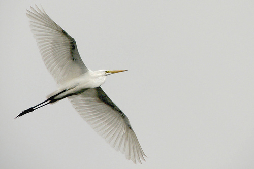 Grey sky, great egret